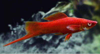 Xiphos rojo pez