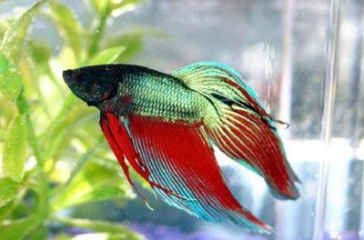 Comprar peces betta online 5 cualidades