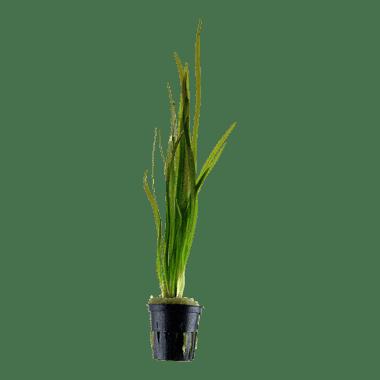 Planta de acuario Vallisneria spiralis Tiger