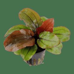 Planta de acuario Echinodorus Reni