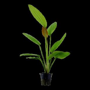 Planta de acuario Echinodorus Rosé