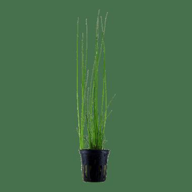Este Eleocharis americano tiene un color verde hierba fresco y crece hasta 20-40 cm de alto.Es básico y de bajo mantenimiento.Cada pajita tiene solo unos pocos milímetros de grosor y la planta mantiene una forma abierta de crecimiento.