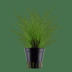 Planta de acuario Eleocharis parvula
