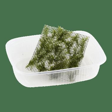 Planta de acuario Fissidens fontanus