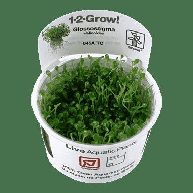 Planta de acuario Glossostigma elatinoides