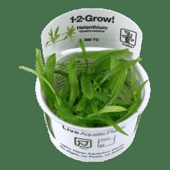 Planta de acuario Helanthium Quadricostatus