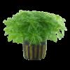 Planta de acuario Hottonia palustris