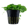 Planta de acuario Hydrocotyle verticillata
