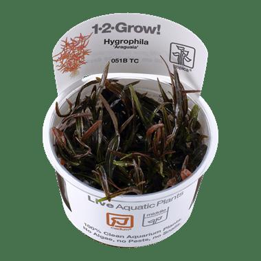Planta de acuario Hygrophila Araguaia