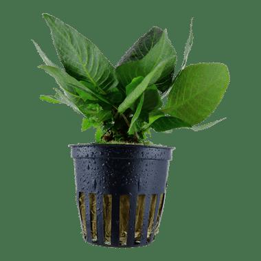 Planta de acuario Hygrophila Compact