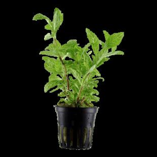 Planta de acuario Hygrophila polysperma Rosanervig
