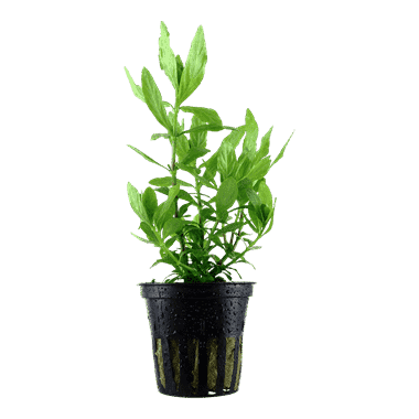 Planta de acuario Hygrophila polysperma