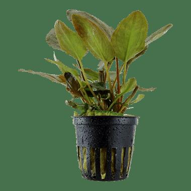 Planta de acuario Lagenandra meeboldii Red