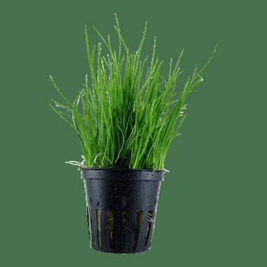 Planta de acuario Lilaeopsis mauritiana