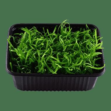 Planta de acuario Lilaeopsis novae-zelandiae