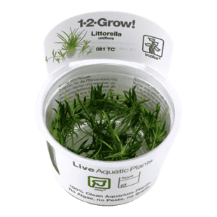 Planta de acuario Littorella uniflora