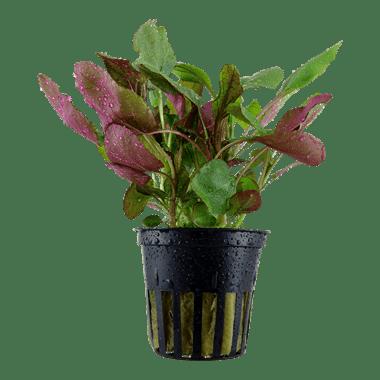 Planta de acuario Lobelia cardinalis