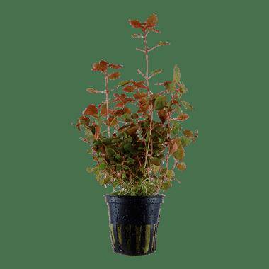 Planta de acuario Ludwigia palustris