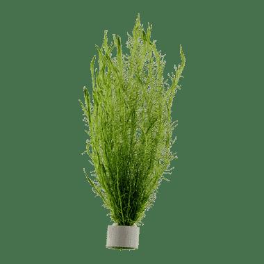Planta de acuario Mayaca fluviatilis