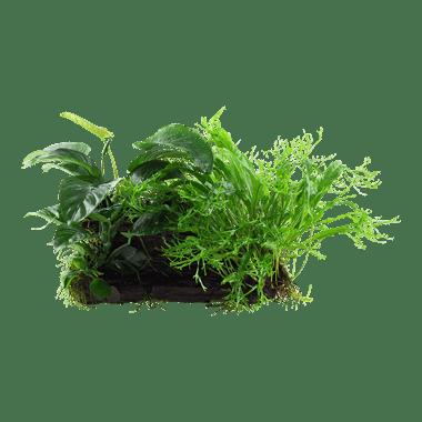 Planta de acuario Microsorum Anubias Duet