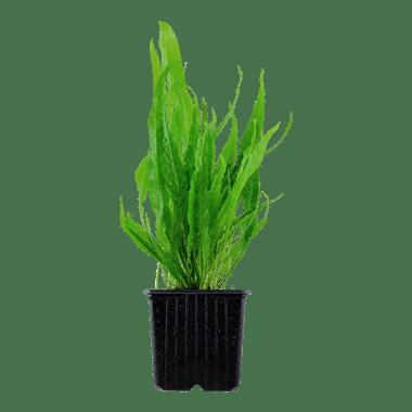 Planta de acuario Microsorum pteropus