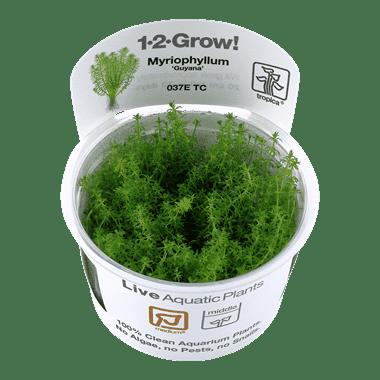 Planta de acuario Myriophyllum Guyana
