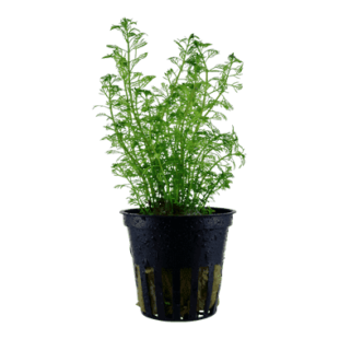 Planta de acuario Myriophyllum mattogrossense