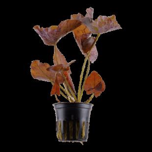 Planta de acuario Nymphaea lotus