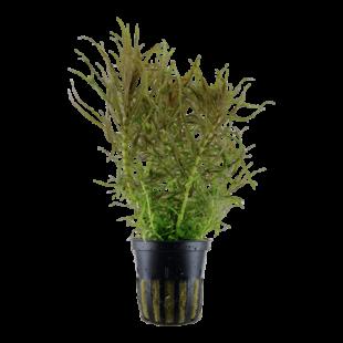 Planta de acuario Pogostemon stellata