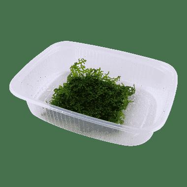 Planta de acuario Riccardia chamedryfolia