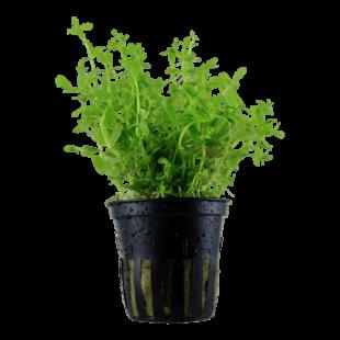 Planta de acuario Rotala Green
