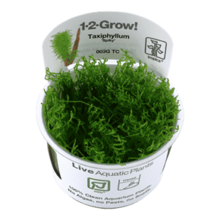 Planta de acuario Taxiphyllum Spiky