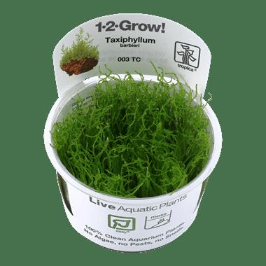 Planta de acuario Taxiphyllum barbieri
