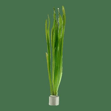 Planta de acuario Vallisneria americana Natans