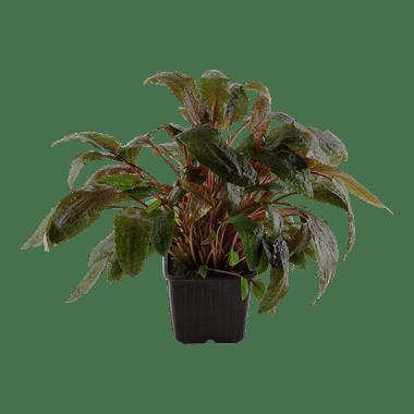 Plantas de acuarios Cryptocoryne