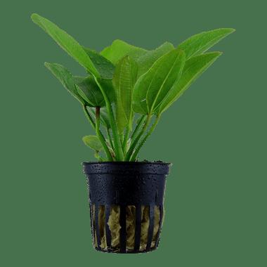 Planta de acuario Echinodorus