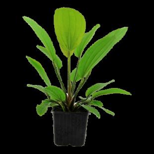 Echinodorus 'Rosé'