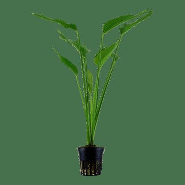 Echinodorus palaefolius