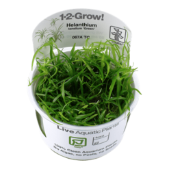 Planta de acuario Helanthium tenellum Green