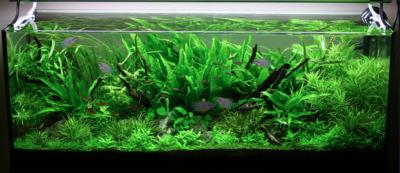 ¿Qué se necesita para tener un acuario plantado?