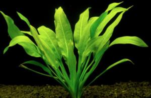 mejores plantas acuario principiantes