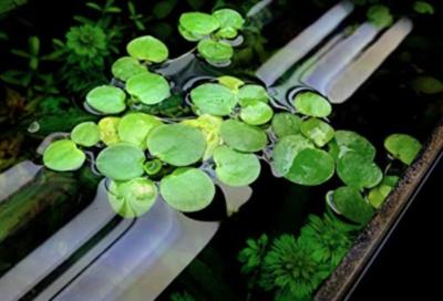 plantas flotantes acuario